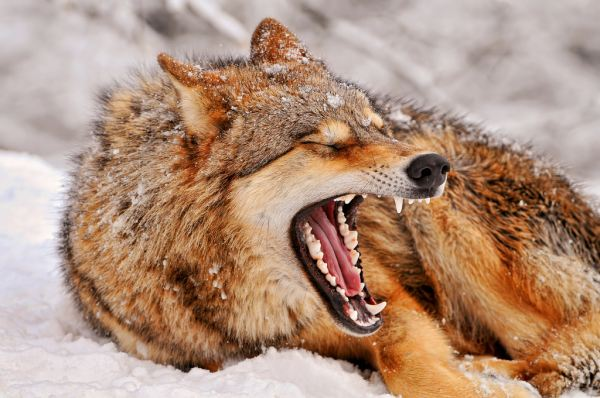 Yawning wolf by Flickr user Tambako The Jaguar