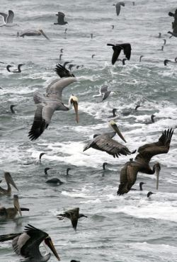 Feeding Frenzy of Cormorants and Brown Pelicans by Flickr user Mike Baird